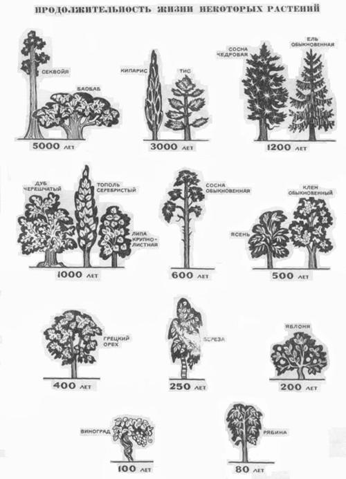 Продолжительность жизни растений