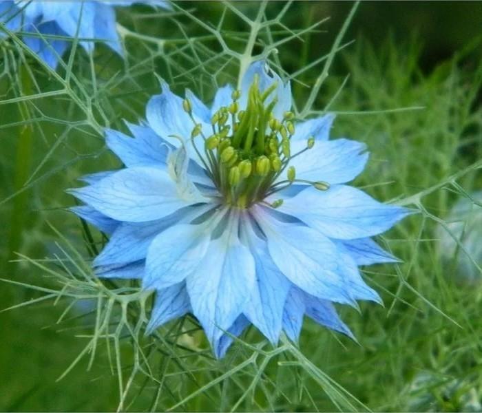 Вкусные цветы, Чернушка (нигелла)