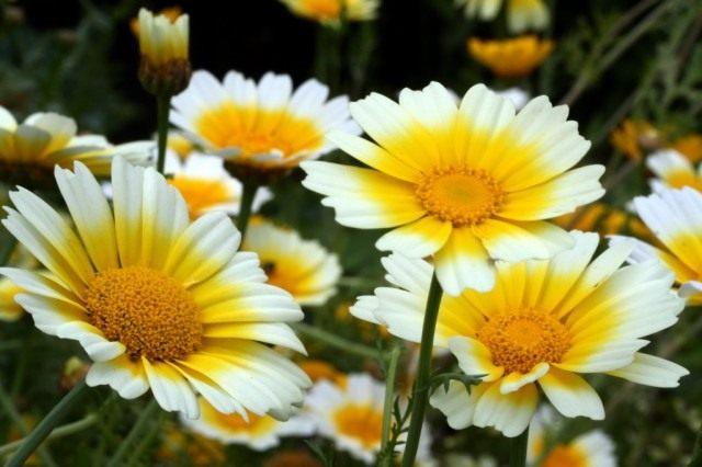 Вкусные цветы, Хризантема овощная (увенчанная)