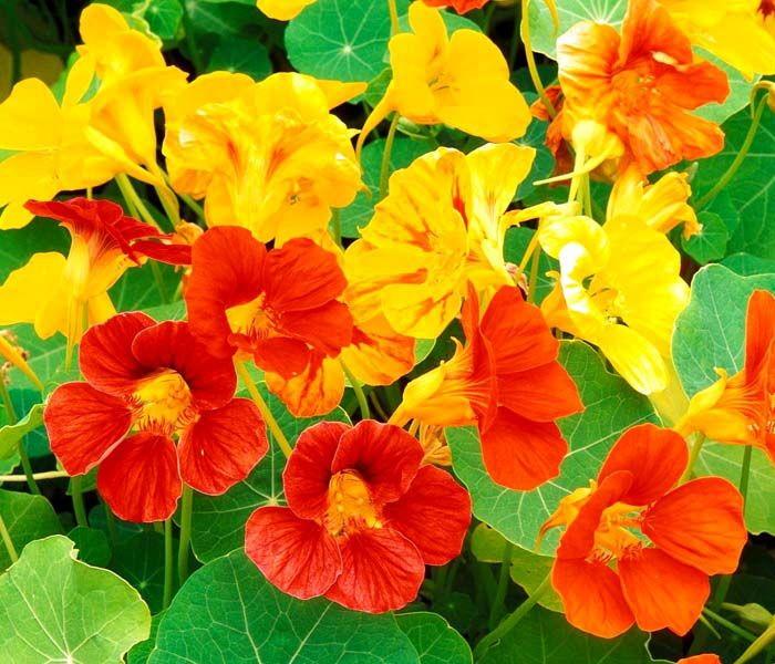 Вкусные цветы, Настурция